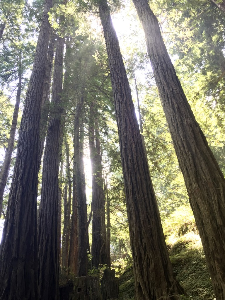 Compared to their much larger ancestors in Muir Woods, these tress are youngsters.