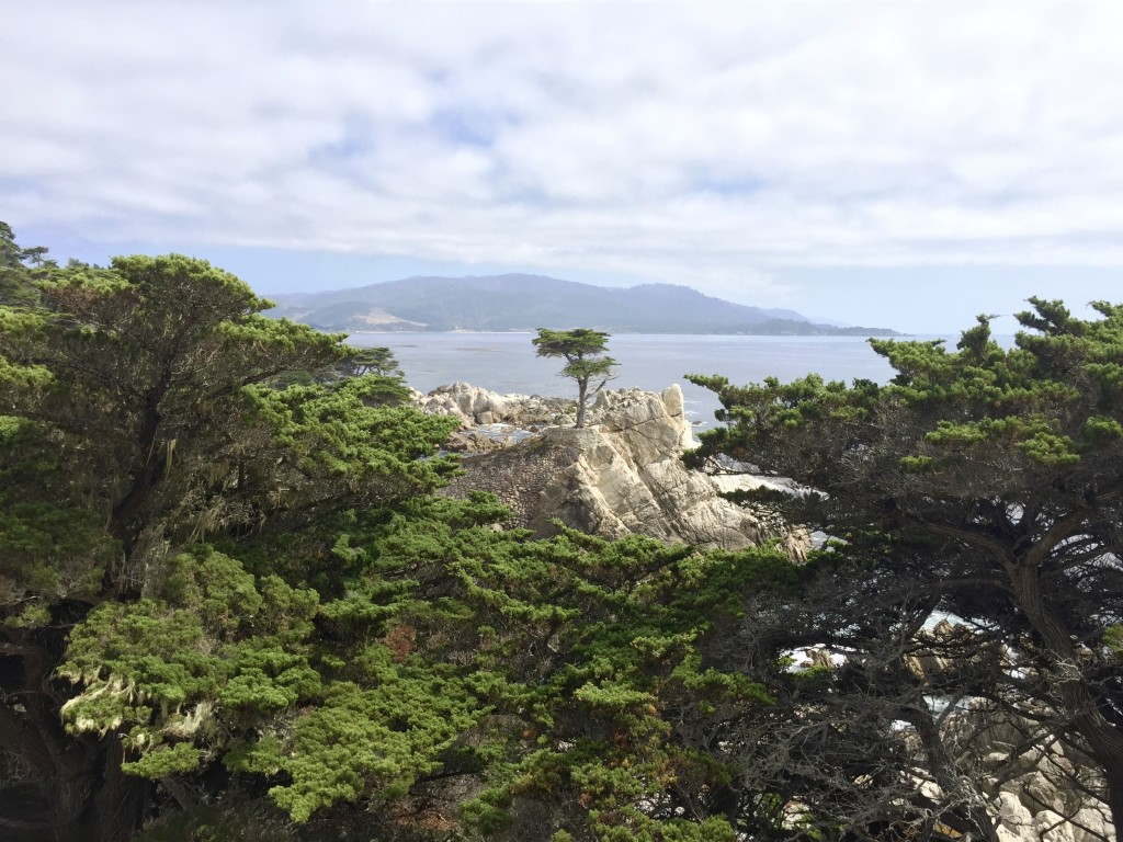 The Lone Cypress was actually not alone at all as the area was full of these unique and ancient looking trees.
