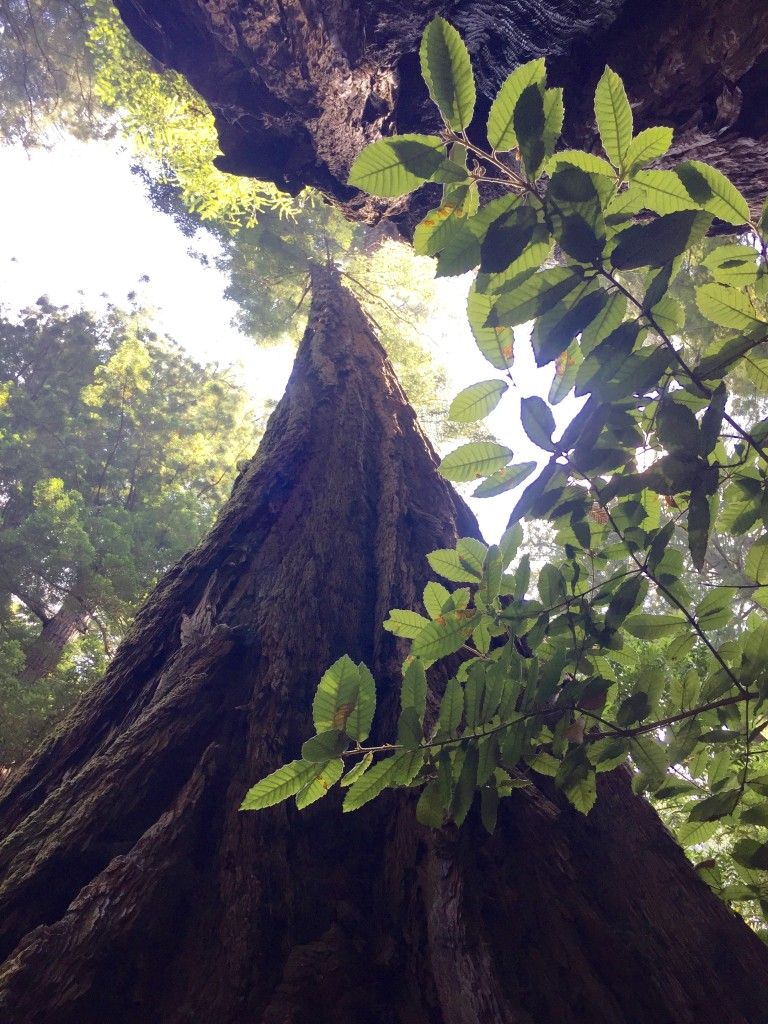 The Tall Trees of Muir Woods